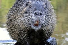 beaver_looking_camera-by-Taylor-Morris